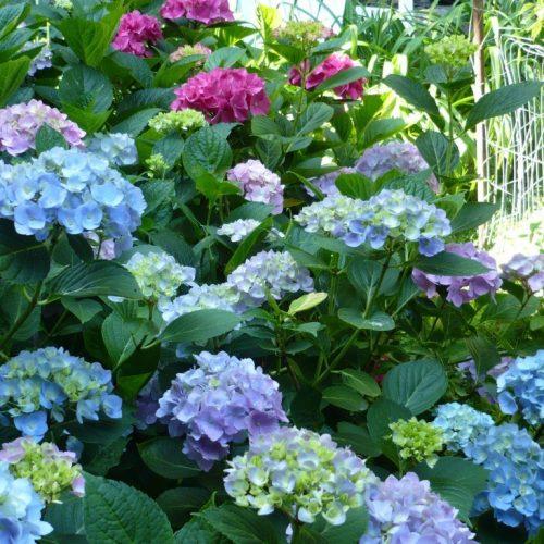 Cẩm tú cầu – loài hoa vạn người mê