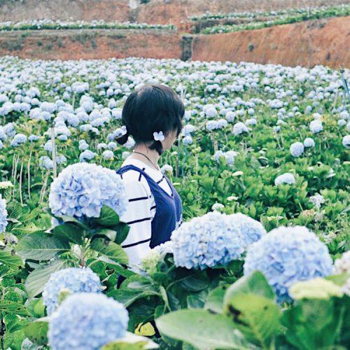 Địa chỉ cánh đồng hoa cẩm tú cầu Đà Lạt