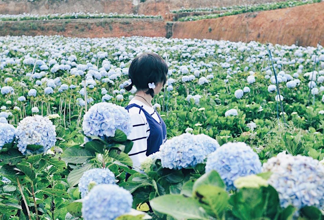 Cánh đồng hoa Cẩm tú cầu làng Đất Sét